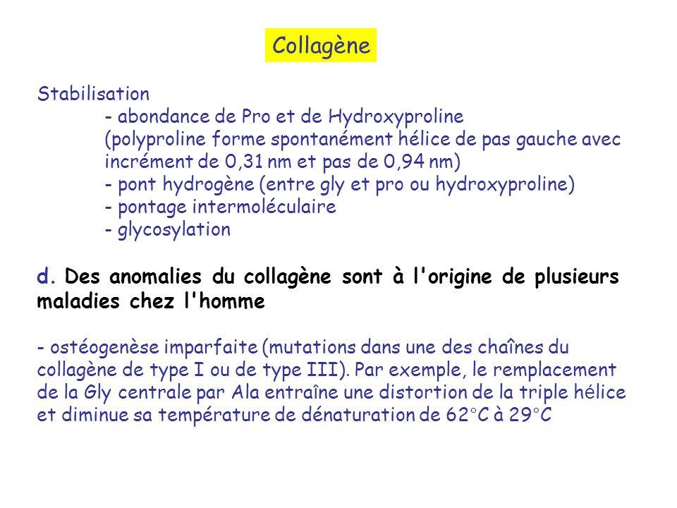 Collagène Stabilisation. - abondance de Pro et de Hydroxyproline.