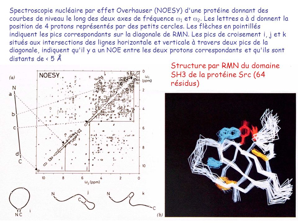 Structure par RMN du domaine SH3 de la protéine Src (64 résidus)