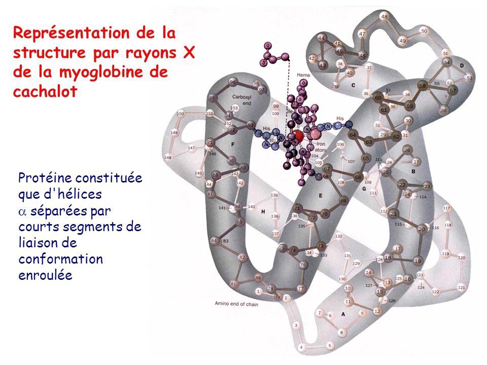 Représentation de la structure par rayons X de la myoglobine de cachalot