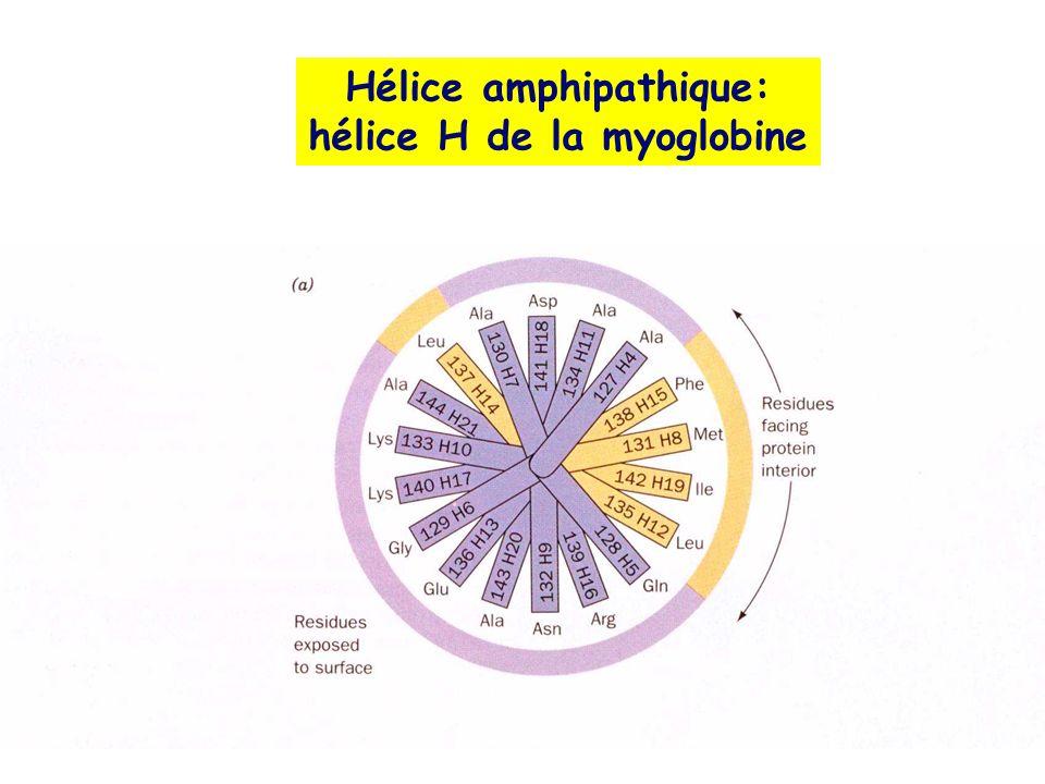 Hélice amphipathique: hélice H de la myoglobine
