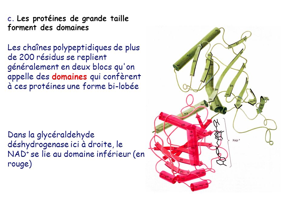 c. Les protéines de grande taille forment des domaines