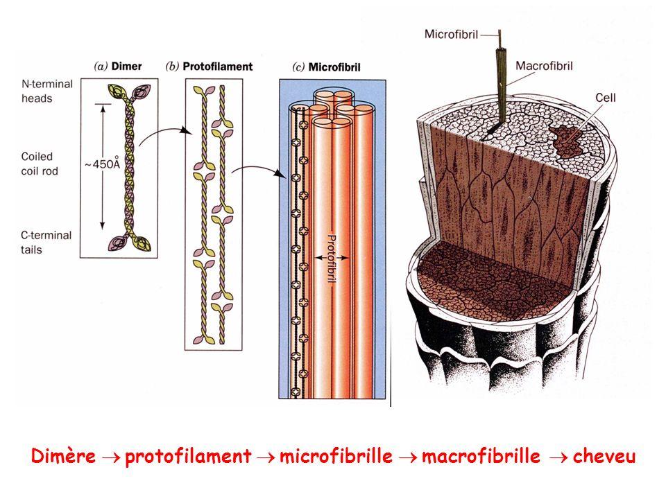 Dimère  protofilament  microfibrille  macrofibrille  cheveu
