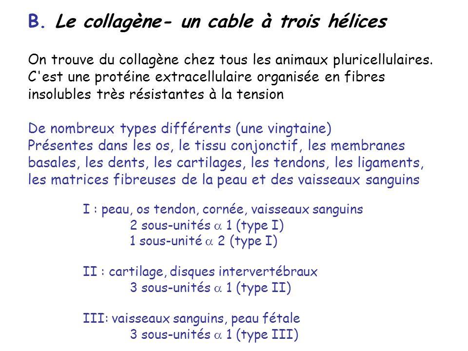 B. Le collagène- un cable à trois hélices
