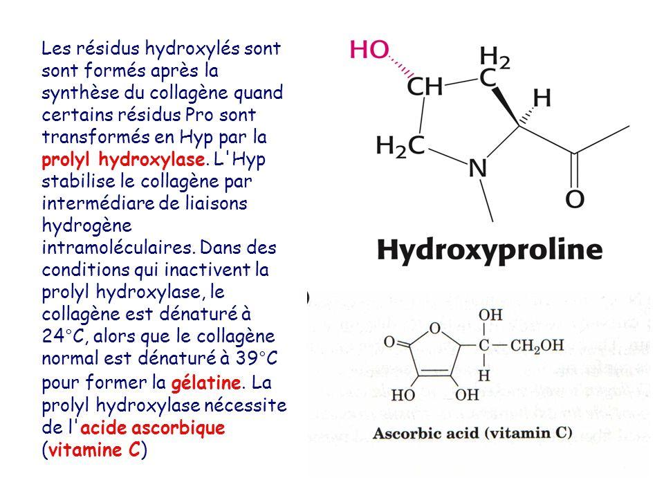 Les résidus hydroxylés sont sont formés après la synthèse du collagène quand certains résidus Pro sont transformés en Hyp par la prolyl hydroxylase.