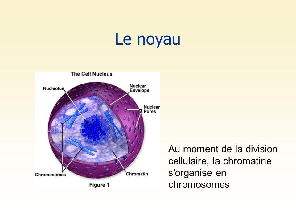 Le noyau Au moment de la division cellulaire, la chromatine s organise en chromosomes