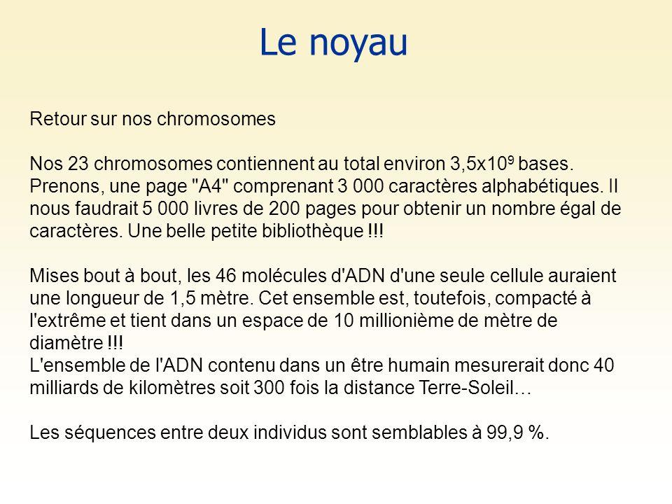 Le noyau Retour sur nos chromosomes