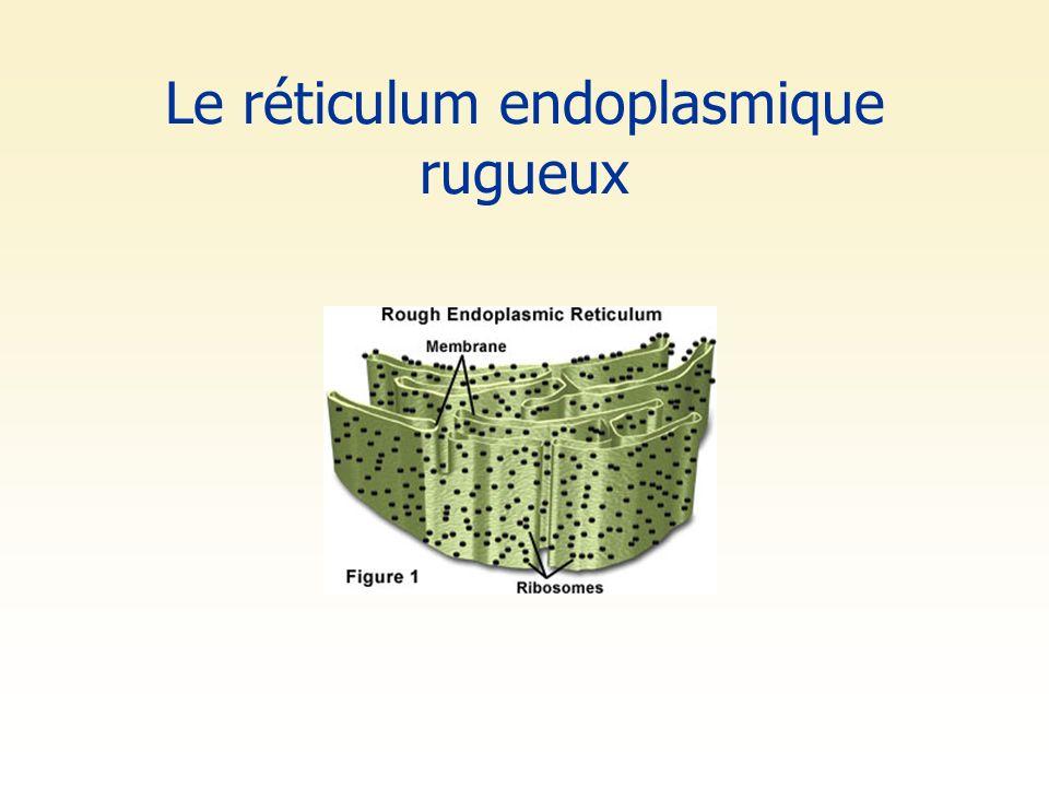 Le réticulum endoplasmique rugueux