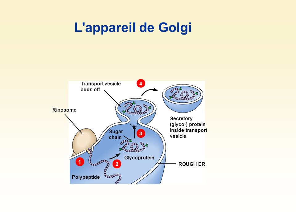 L appareil de Golgi 1 2 3 4 Transport vesicle buds off Ribosome