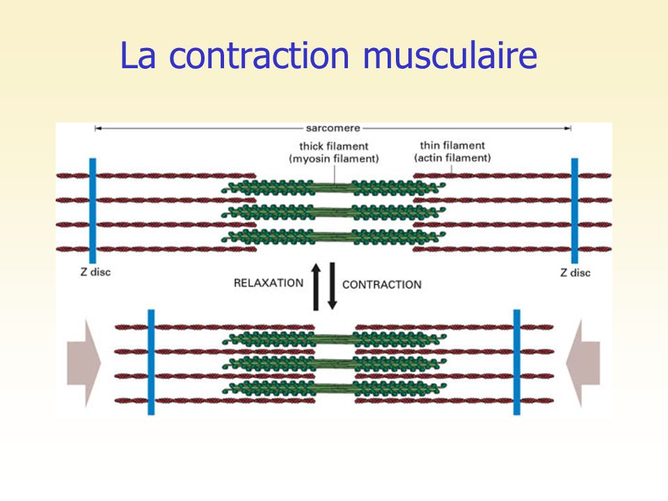 La contraction musculaire