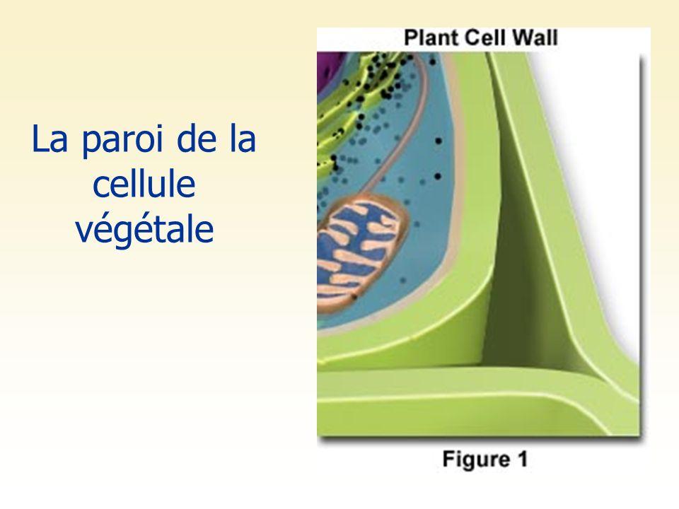 La paroi de la cellule végétale