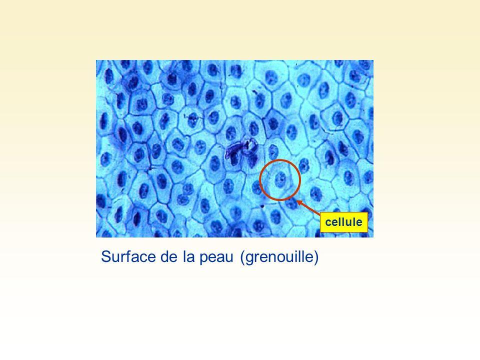 Surface de la peau (grenouille)