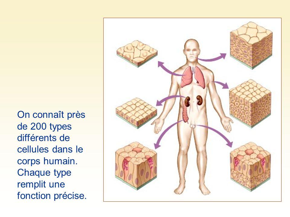 On connaît près de 200 types différents de cellules dans le corps humain.