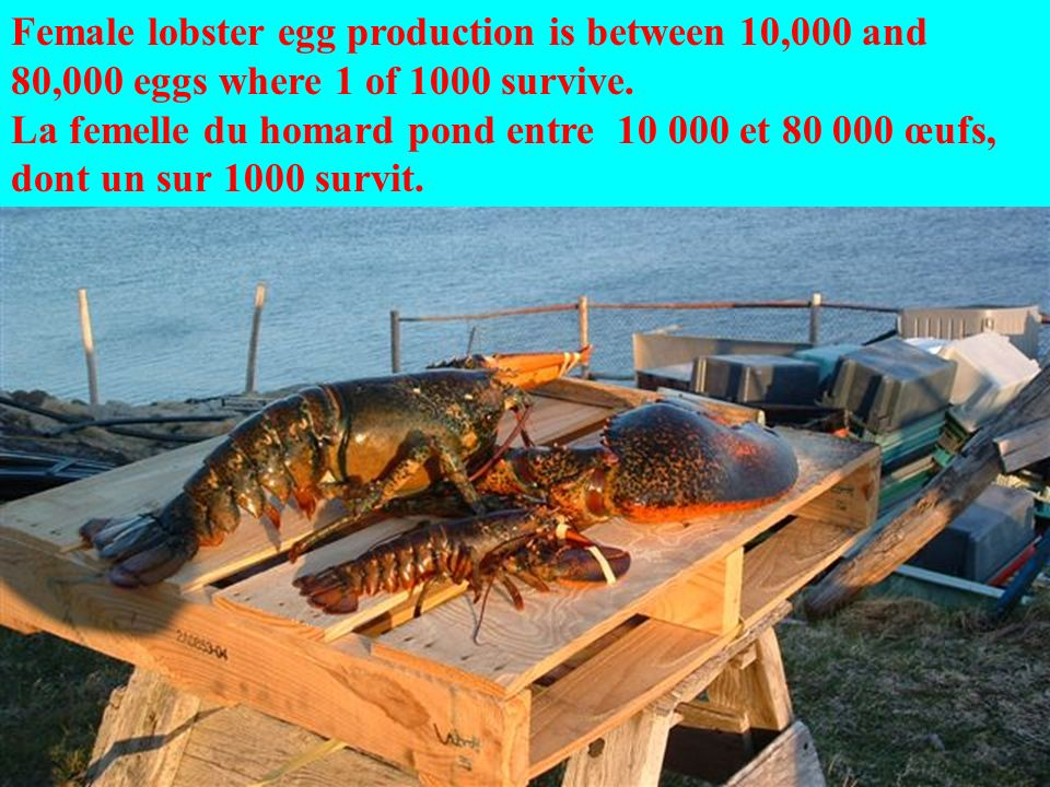 Female lobster egg production is between 10,000 and 80,000 eggs where 1 of 1000 survive.