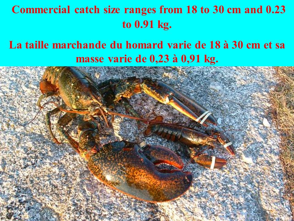 Commercial catch size ranges from 18 to 30 cm and 0.23 to 0.91 kg.