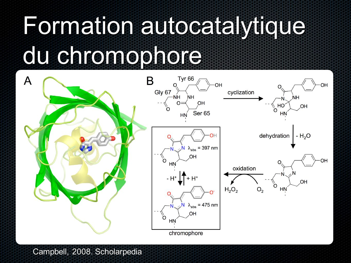 Formation autocatalytique du chromophore