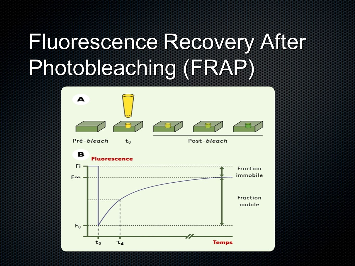 Fluorescence Recovery After Photobleaching (FRAP)