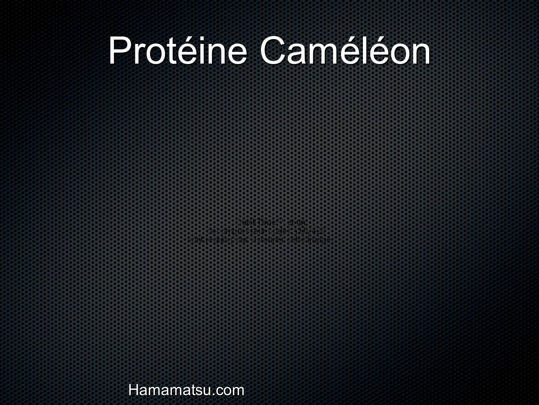 Protéine Caméléon Cellule HELA Hamamatsu.com