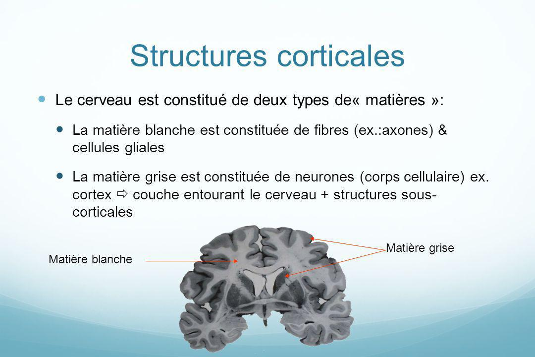 Structures corticales