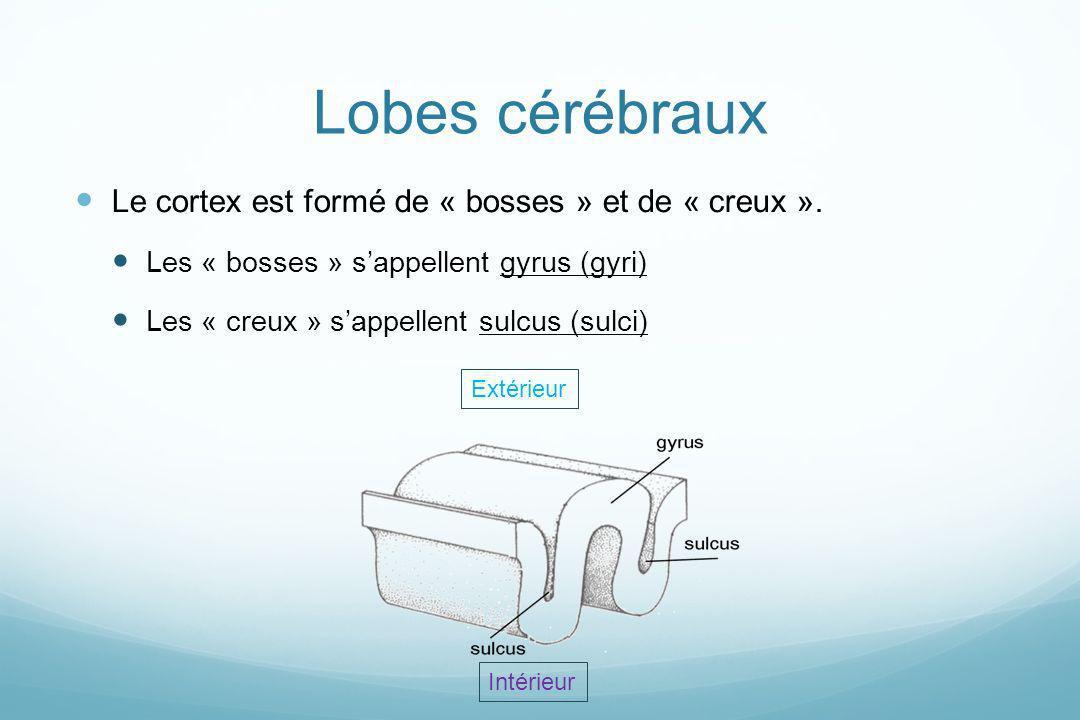 Lobes cérébraux Le cortex est formé de « bosses » et de « creux ».