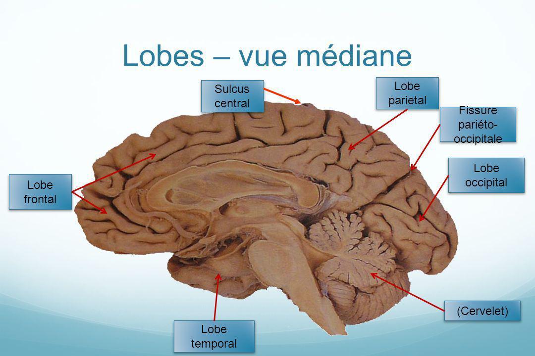 Fissure pariéto-occipitale