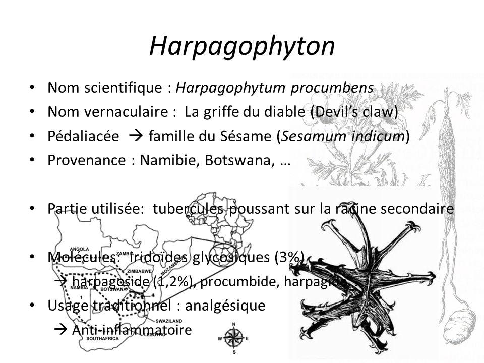 Harpagophyton Nom scientifique : Harpagophytum procumbens