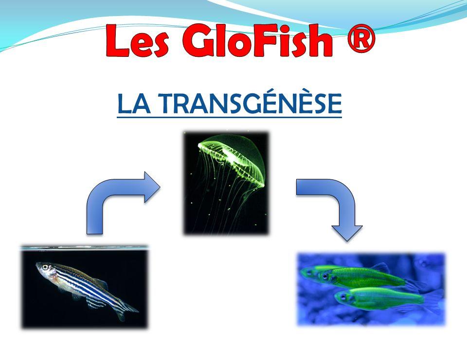 Les GloFish ® LA TRANSGÉNÈSE