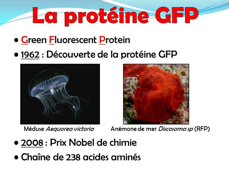 La protéine GFP