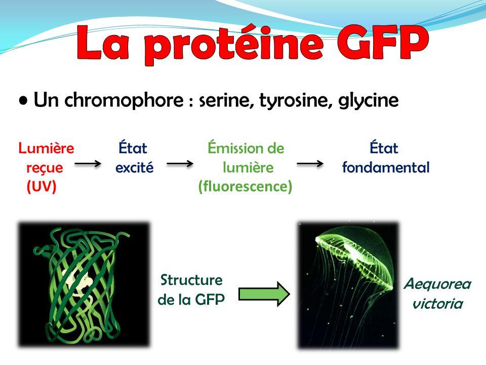 La protéine GFP • Un chromophore : serine, tyrosine, glycine
