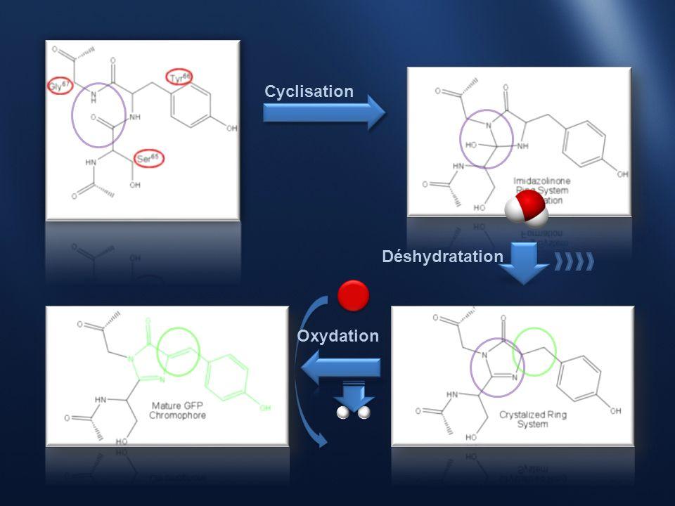 Cyclisation Déshydratation Oxydation