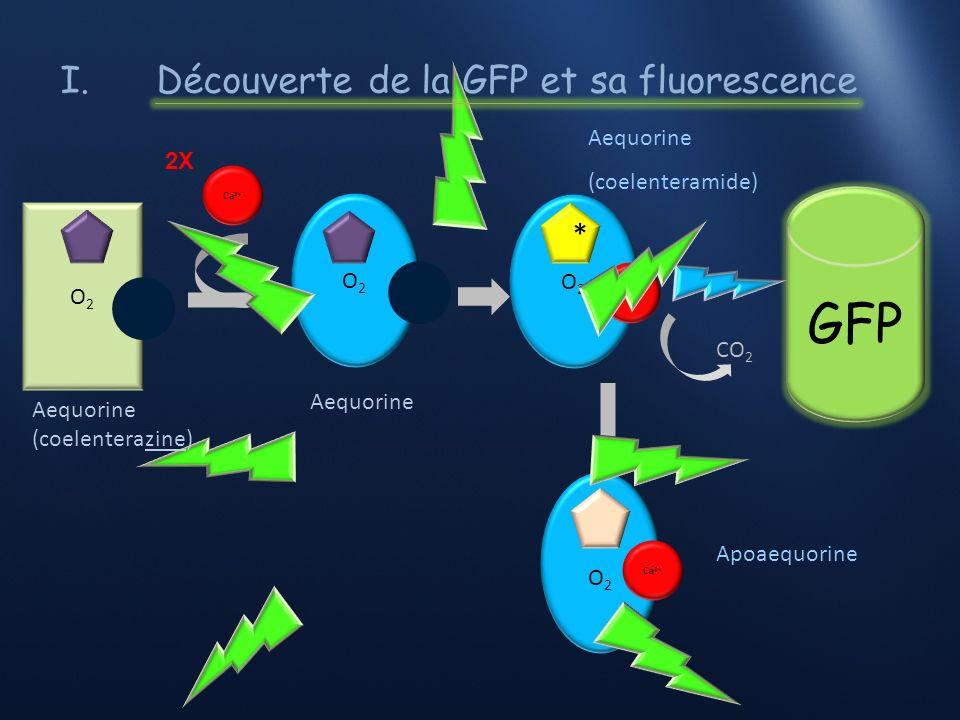 I. Découverte de la GFP et sa fluorescence