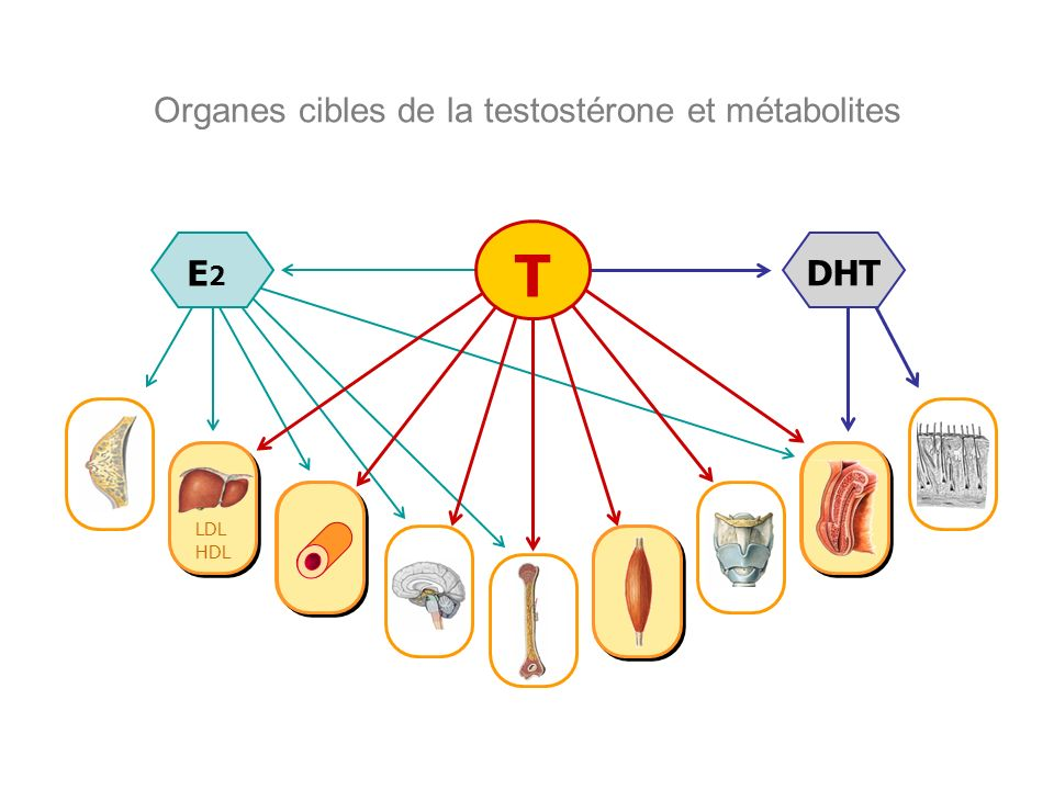 Organes cibles de la testostérone et métabolites