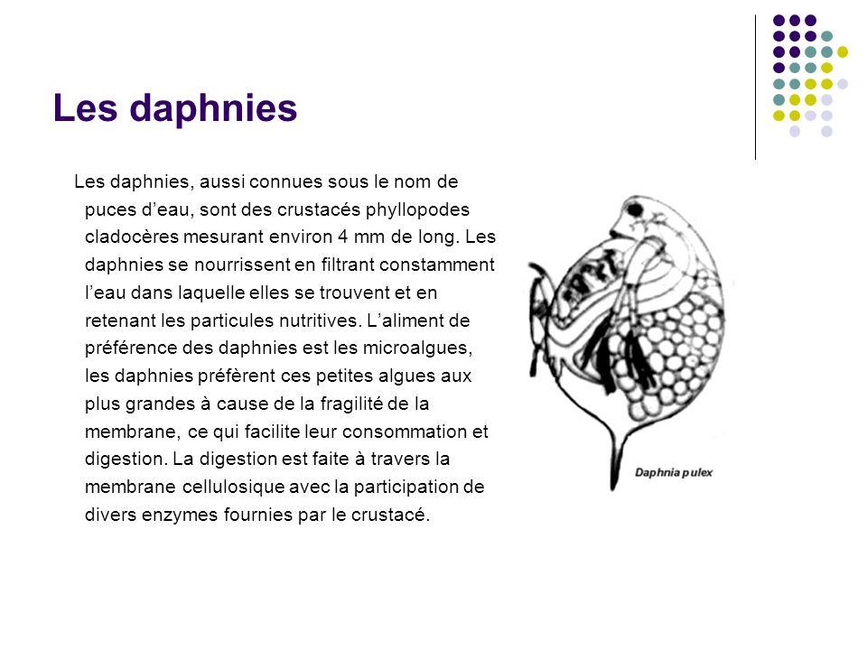Les daphnies