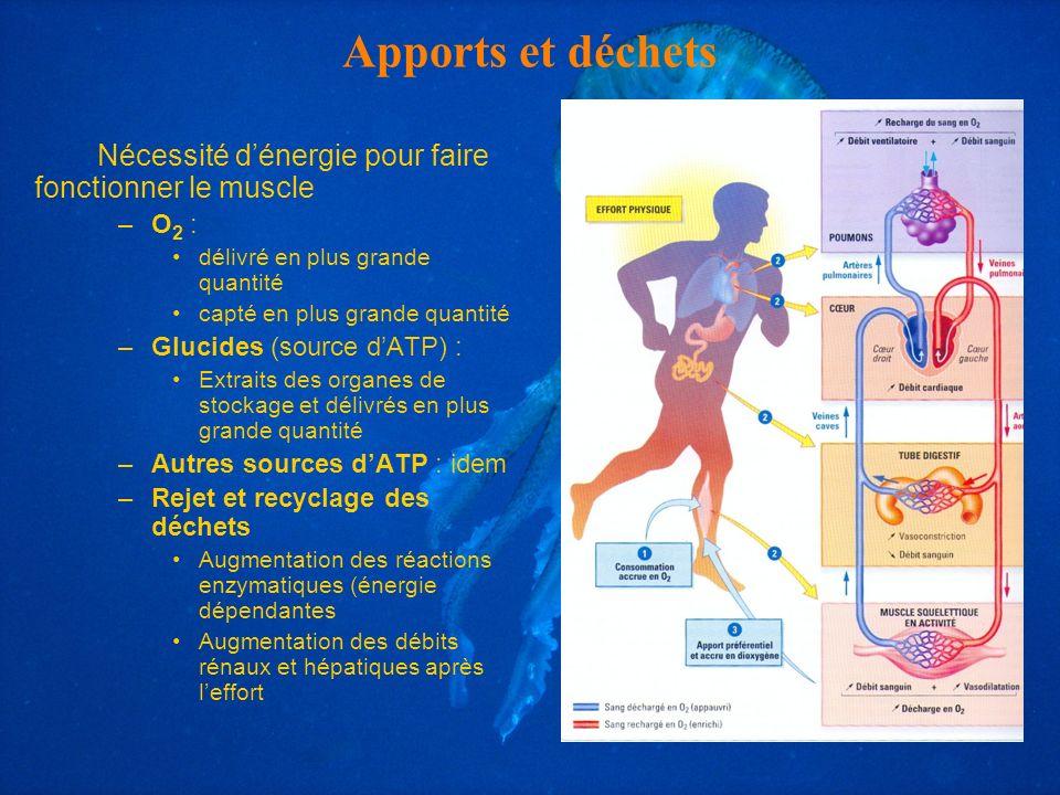 Apports et déchets Nécessité d'énergie pour faire fonctionner le muscle. O2 : délivré en plus grande quantité.