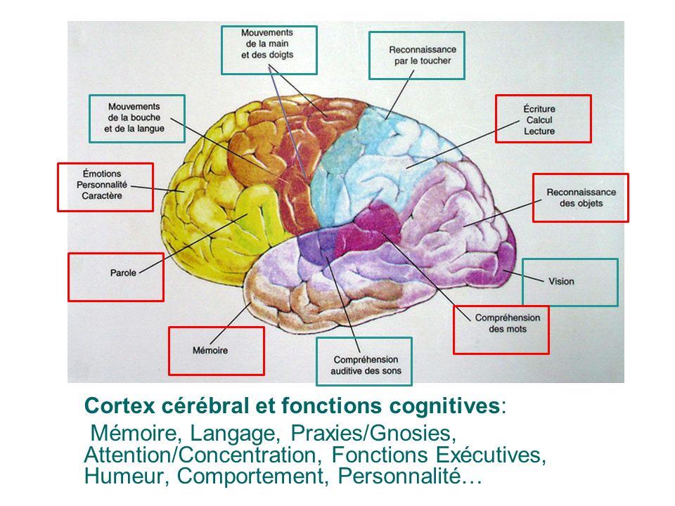 Cortex cérébral et fonctions cognitives: