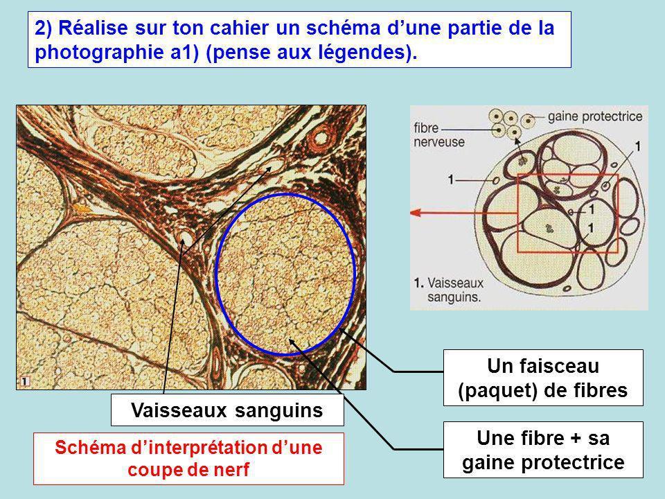 Un faisceau (paquet) de fibres
