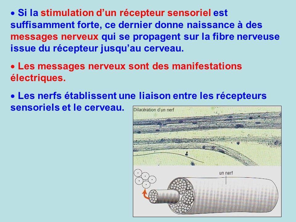 Si la stimulation d'un récepteur sensoriel est suffisamment forte, ce dernier donne naissance à des messages nerveux qui se propagent sur la fibre nerveuse issue du récepteur jusqu'au cerveau.