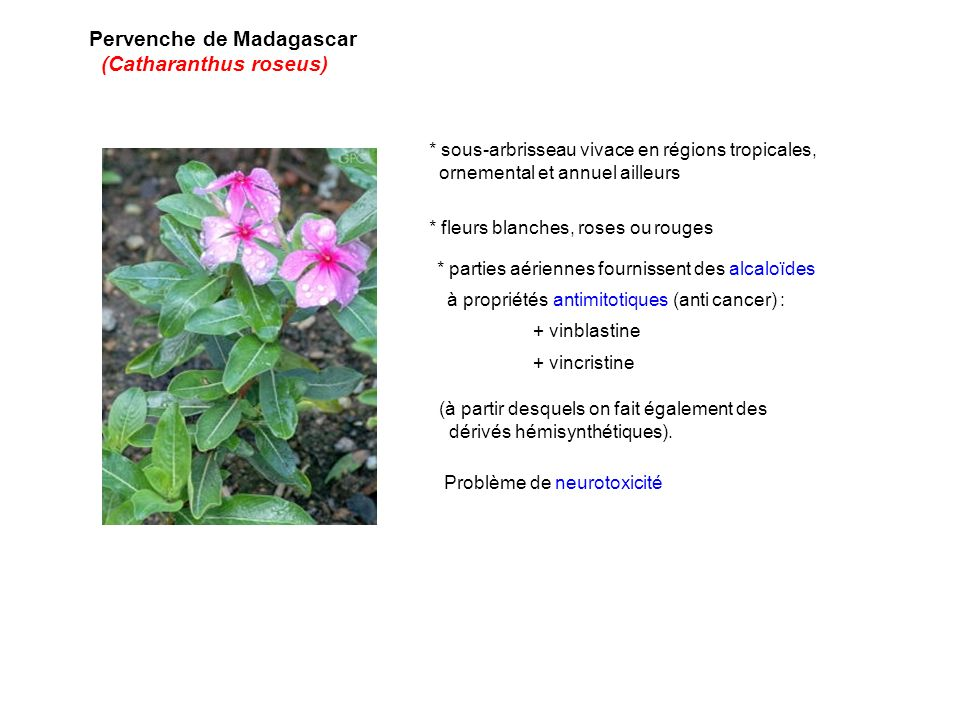 Pervenche de Madagascar (Catharanthus roseus)
