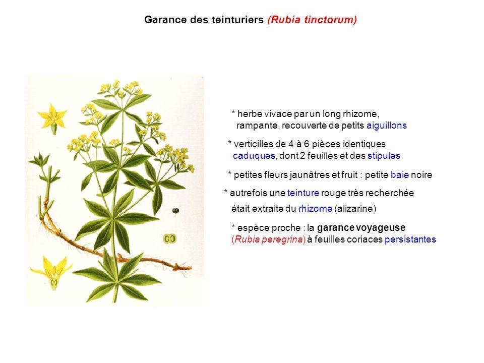 Garance des teinturiers (Rubia tinctorum)