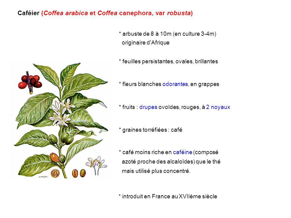 Caféier (Coffea arabica et Coffea canephora, var robusta)