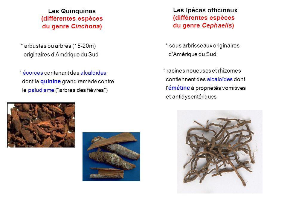 Les Quinquinas (différentes espèces du genre Cinchona)
