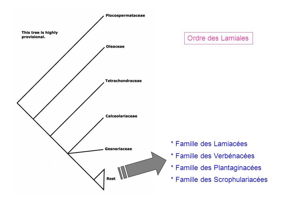 Ordre des Lamiales * Famille des Lamiacées. * Famille des Verbénacées. * Famille des Plantaginacées.