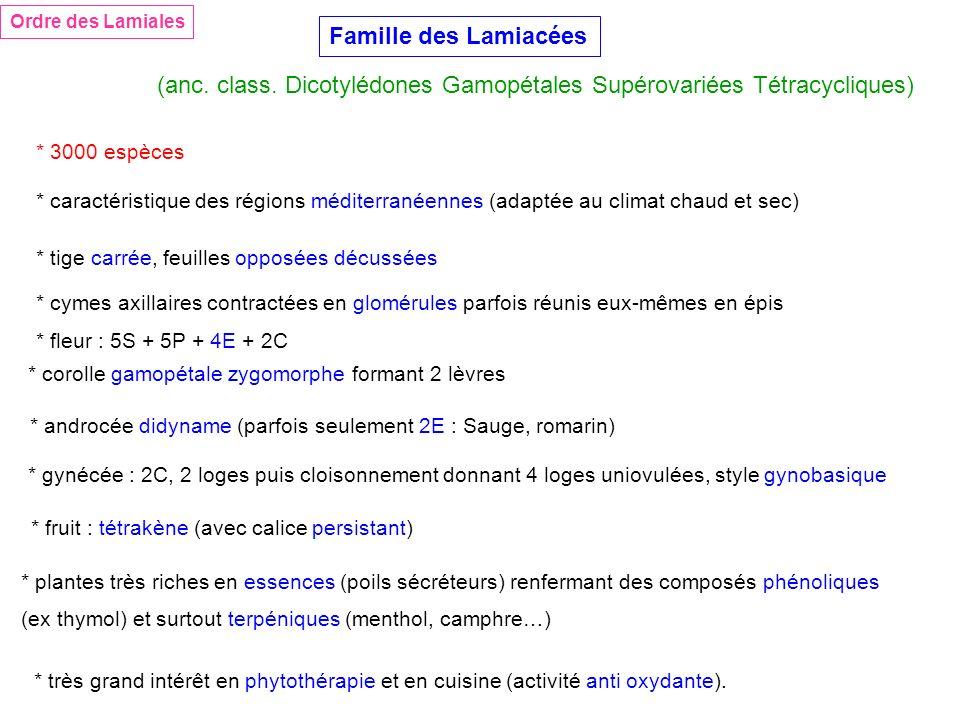 (anc. class. Dicotylédones Gamopétales Supérovariées Tétracycliques)
