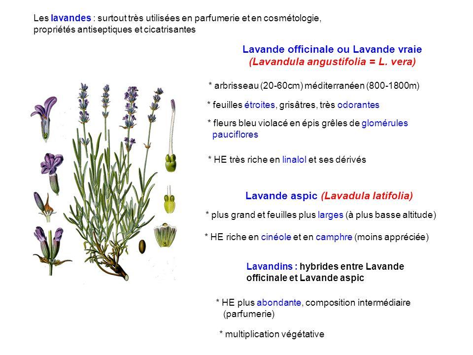 Lavande officinale ou Lavande vraie (Lavandula angustifolia = L. vera)