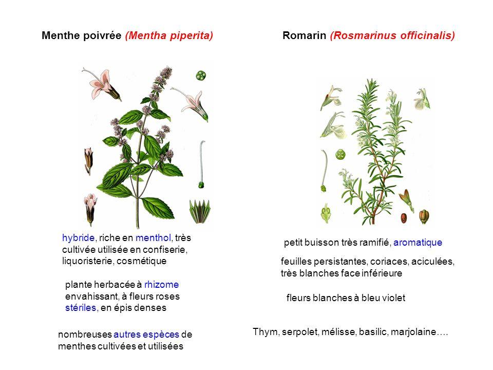 Menthe poivrée (Mentha piperita) Romarin (Rosmarinus officinalis)