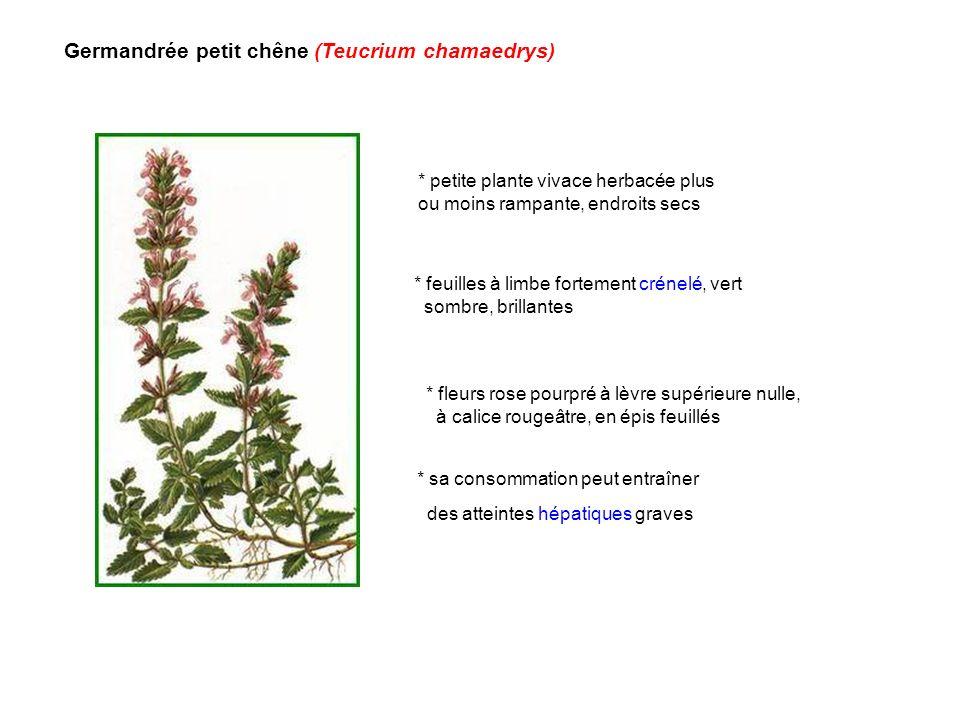 Germandrée petit chêne (Teucrium chamaedrys)