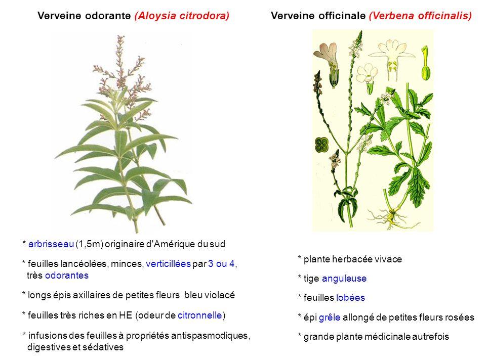Verveine odorante (Aloysia citrodora)