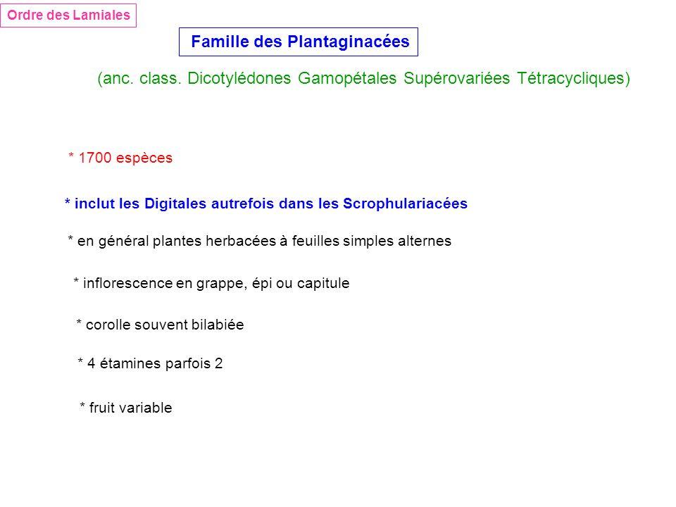 Famille des Plantaginacées