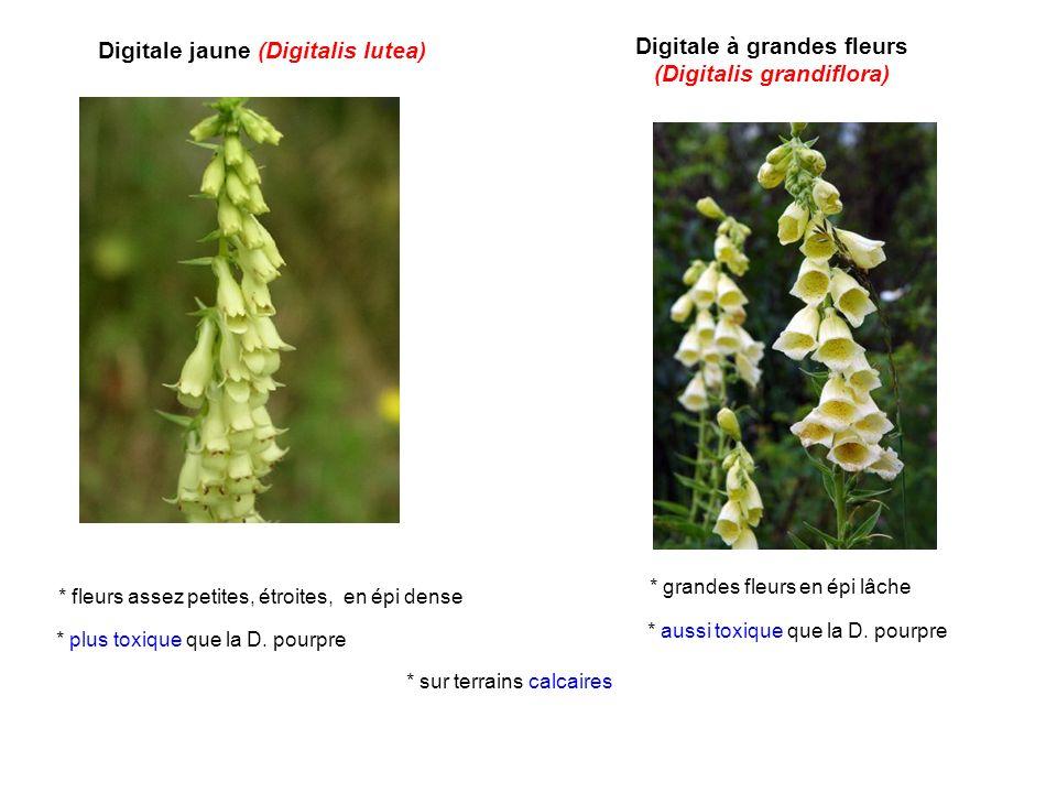 Digitale à grandes fleurs (Digitalis grandiflora)