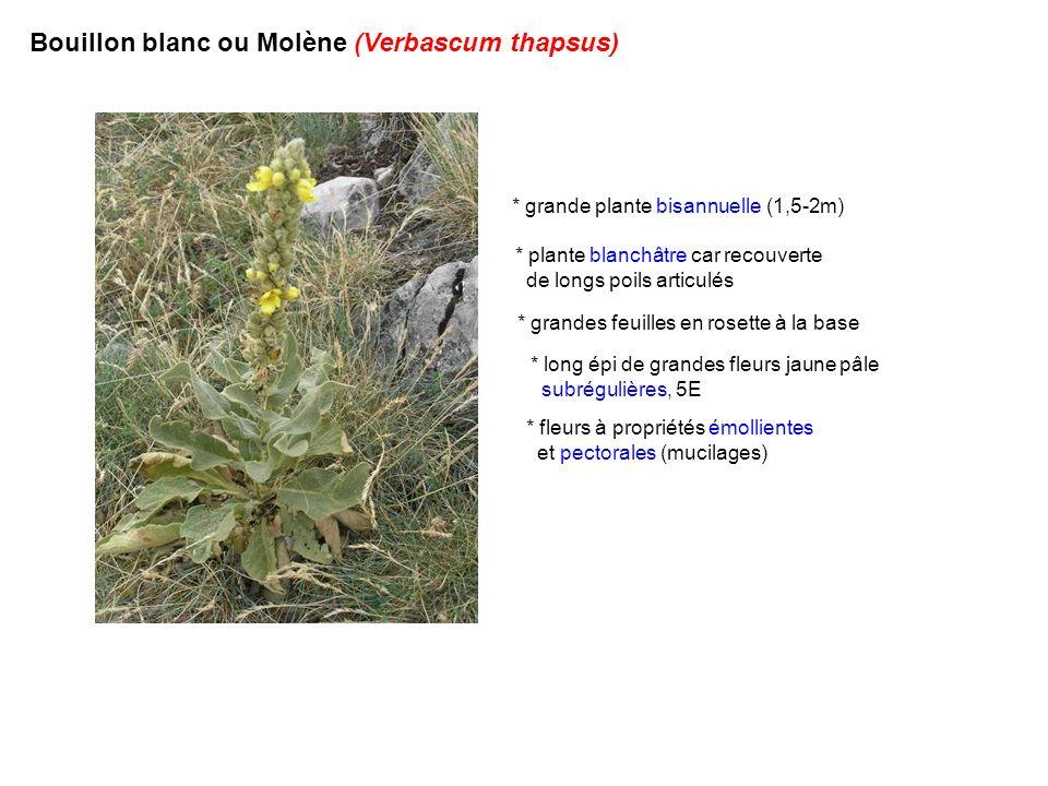 Bouillon blanc ou Molène (Verbascum thapsus)