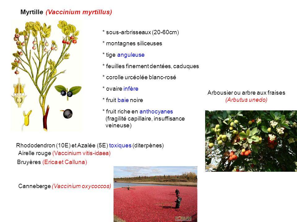 Arbousier ou arbre aux fraises